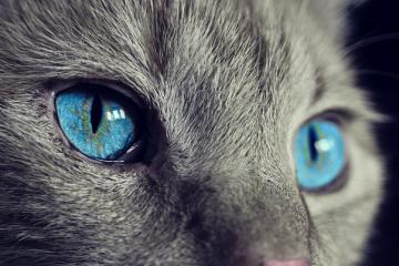 Gato con los ojos azules