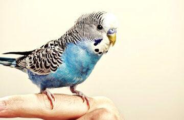 como entrenar aves